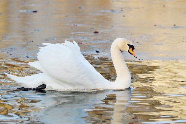 ホワイトスワンは秋の池で泳ぐ