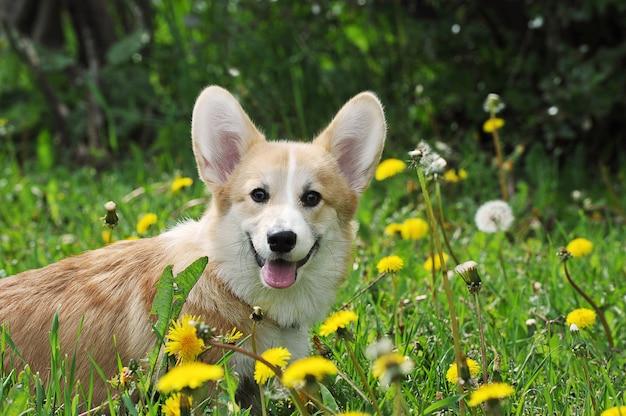 緑の芝生にウェールズコーギーペンブローク