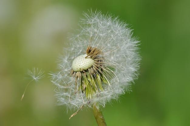 葉のない種のタンポポ