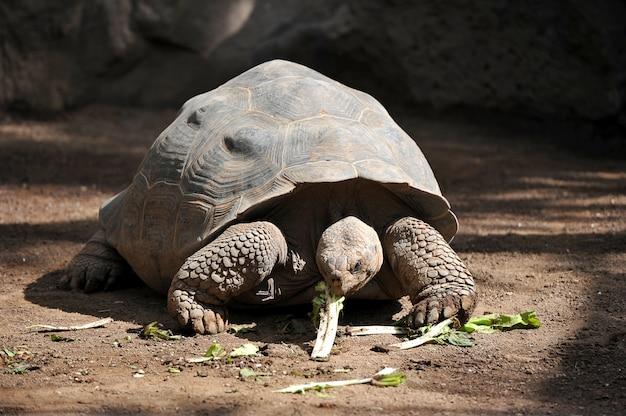 Гигантская черепаха ест зелень