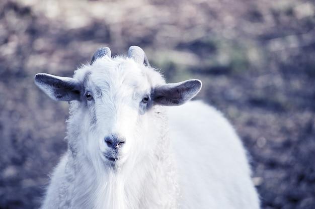 自然の風景の中の白ヤギ