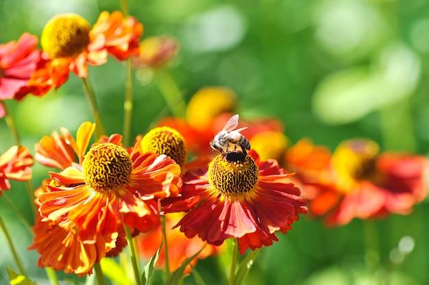Пчела на красном цветке собирает пыльцу