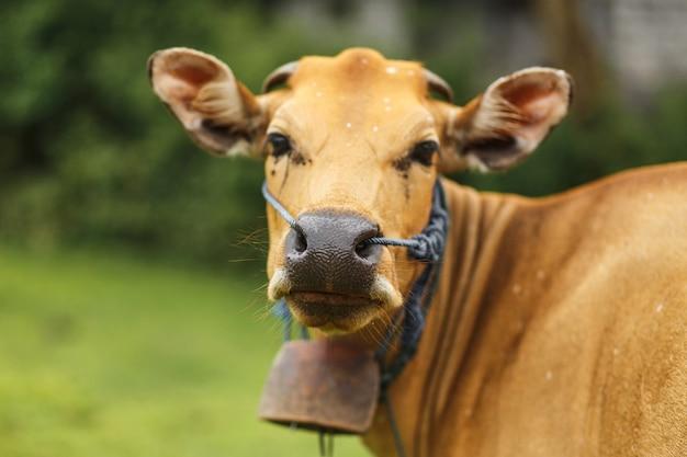 肖像画バリの茶色の牛の牧草地で放牧