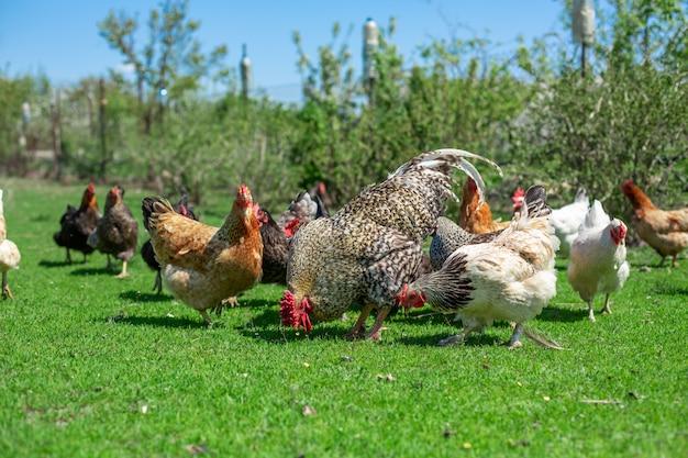 Петух и цыплята пасутся на зеленой траве. домашний скот в деревне