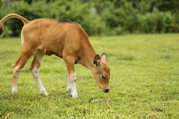 肖像画バリの茶色の牛は牧草地で放牧します。