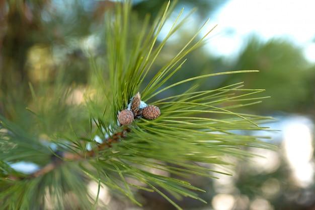 Крупный план ветви дерева и зеленые иголки и маленькие шишки