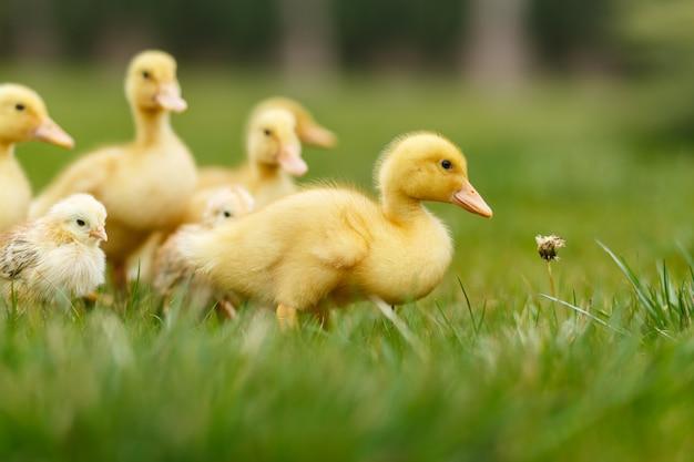 緑の芝生の上の小さなアヒルと鶏。
