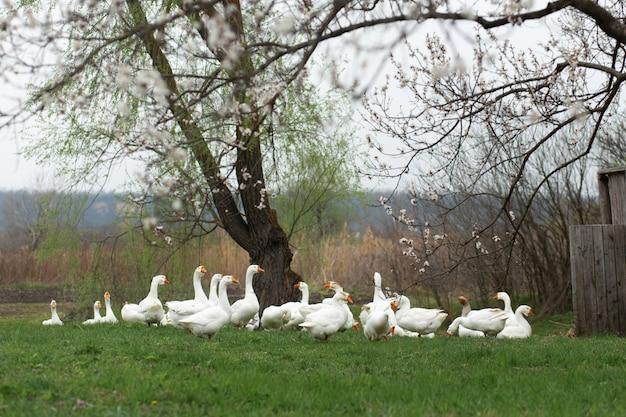 ガチョウは、春の芝生の上の村で、新鮮な緑の草の上に花盛りの木を歩いています。