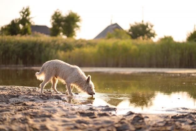 Собака пьет воду из озера на закате