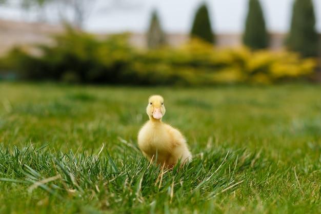 Один маленький желтый утенок на зеленой траве.
