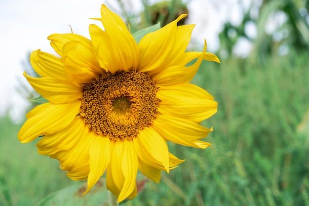 Желтый подсолнух в поле, летний день