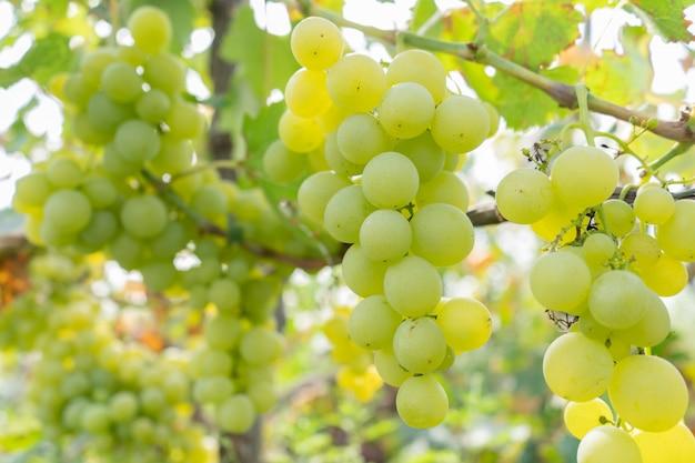 緑豊かな庭園のブドウの絡み合うジューシーなフルーツ