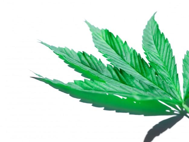 白で隔離される緑の大麻葉