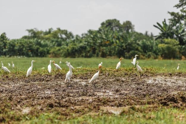耕したての畑に白いサギの群れ