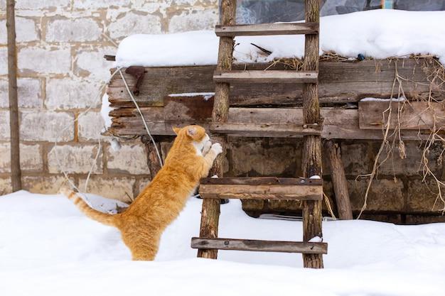 Зима. рыжий кот собирается забраться на чердак по деревянной лестнице