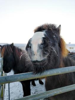 冬の農場で木製のパドックでアイスランドの馬のクローズアップの肖像画