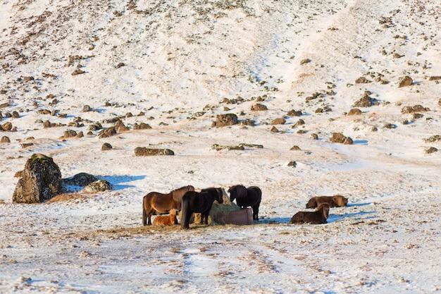 アイスランドの馬は、干し草の山の近くの雪の中を歩きます。アイスランドの農場