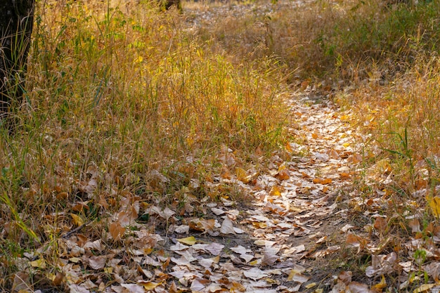 秋の野生の森。よく踏まれた道、落ちた黄色の葉、黄ばんだ草