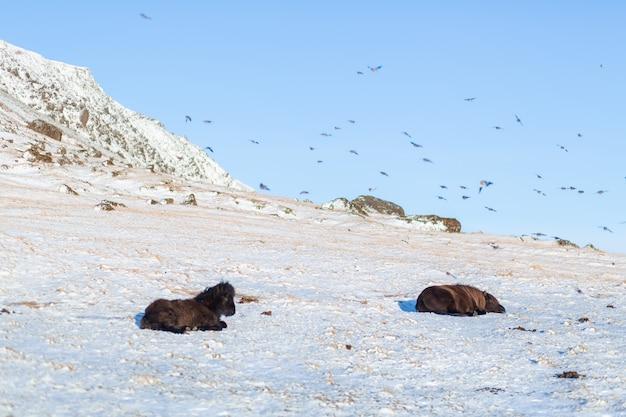 Исландские лошади гуляют зимой по снегу на склоне холма.