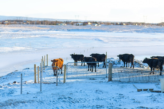 アイスランドの小さな町で冬の農場。雪の中を歩く牛。