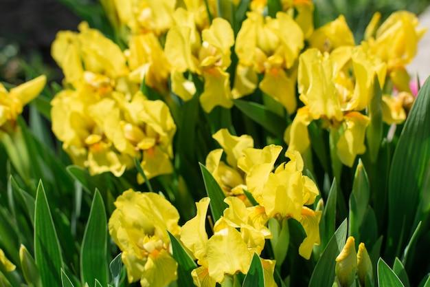 美しい黄色のアイリスの花と花壇をクローズアップ。