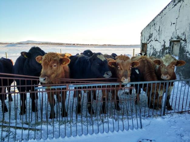 冬のアイスランドの馬の農場。