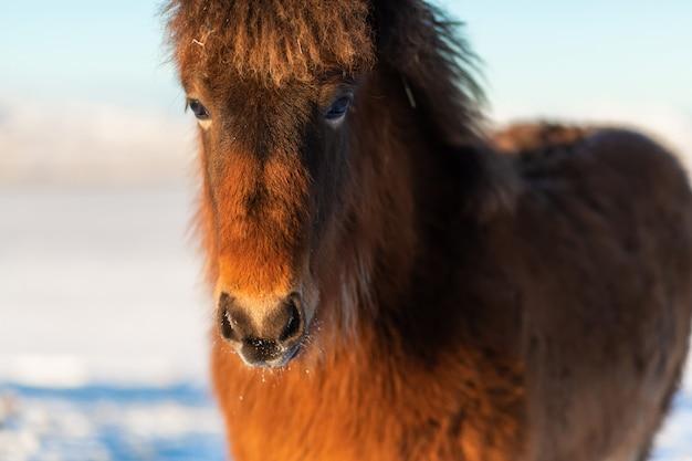 冬のアイスランドの馬のクローズアップの肖像画