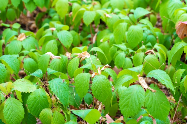 Плантация молодого дикого винограда. зеленые листья
