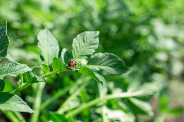 コロラド州の甲虫は庭でジャガイモの収穫を食べる