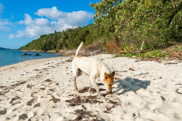 白い砂のビーチでホームレスの犬。