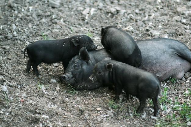 Вьетнамская черная пузатая свинья. травоядные свиньи