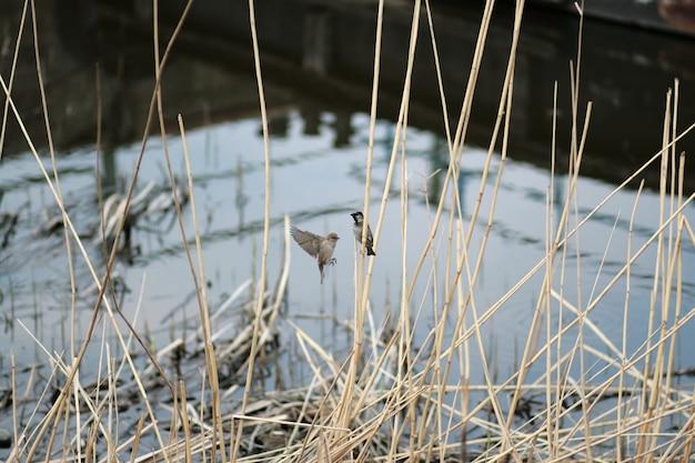 小さなスズメが乾いた葦に座っています。