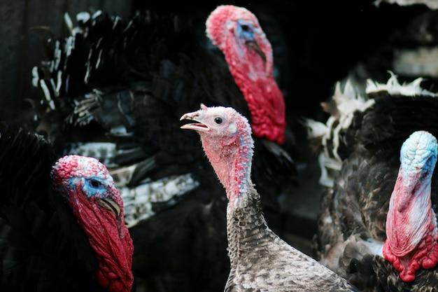 トルコの肖像画。国内の鳥。ファーム
