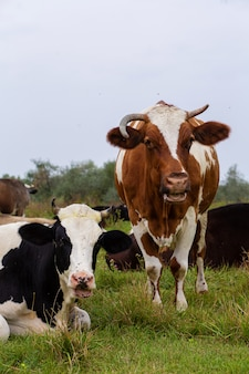 農村部の牛は緑の牧草地に放牧します。田園生活。動物。農業国