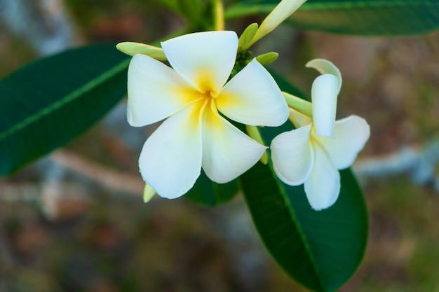 トロピカルガーデンに咲く白いプルメリアの花
