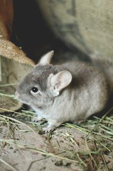 小さな灰色のチンチラは緑の芝生の路上を歩きます。