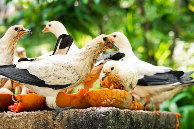 Стая голубей ест папайю в яслях. наблюдение за птицами