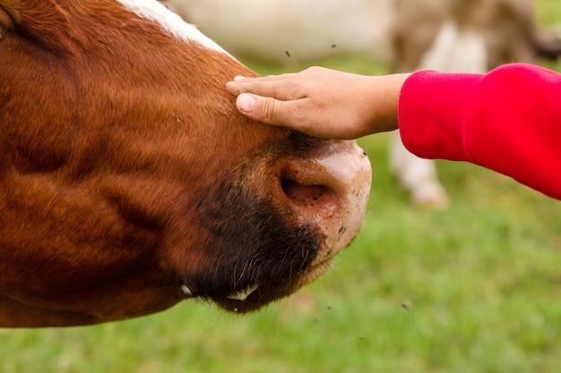 Девушка гладит корову по носу. забота о животных