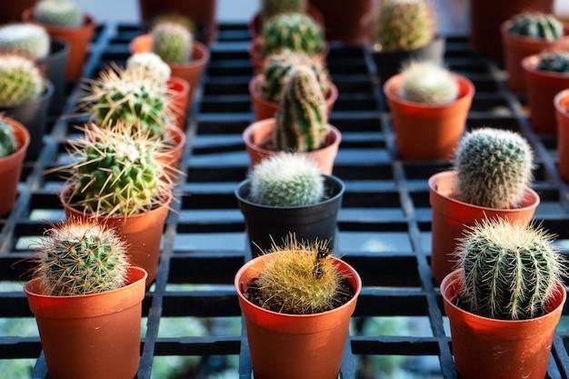 Маленькие декоративные горшки с цветами кактусов. вид сверху. декор со свежими цветами. домашние цветы