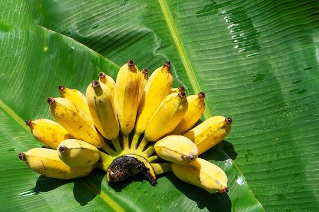 緑のバナナの葉にジューシーな黄色のバナナの枝