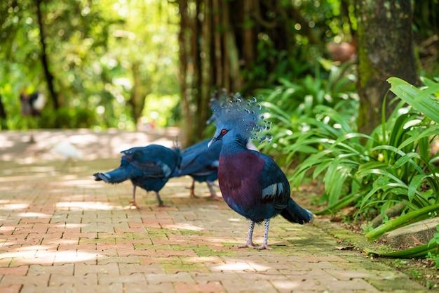 Стая коронованных голубей гуляет в зеленом парке