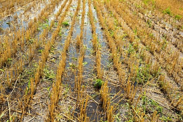 Пшеничное поле после уборки урожая комбайном. обрезанная пшеница. сезон сбора пшеницы