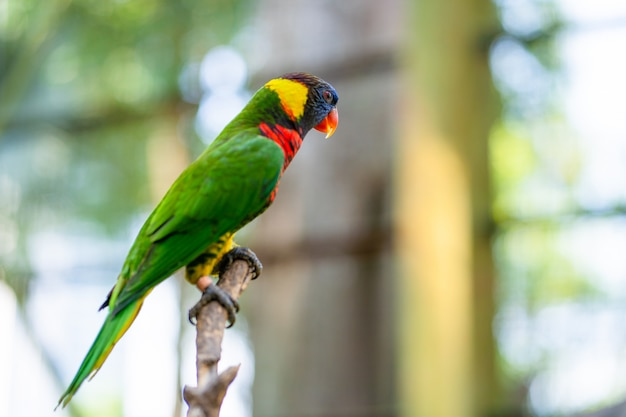 Радуга лорикет попугаев в зеленом парке.