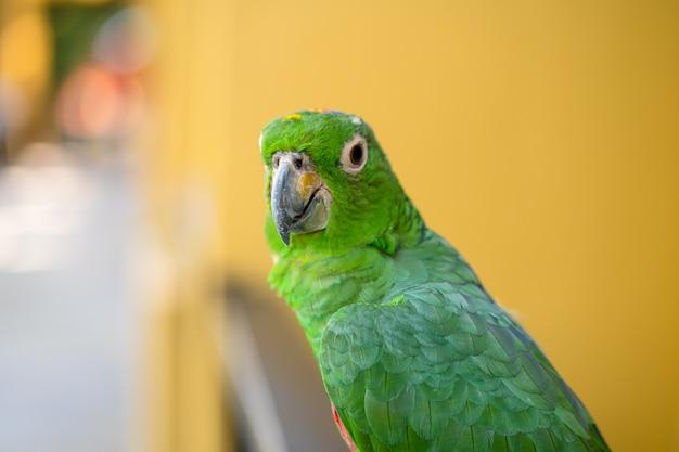 Зеленый попугай макро портрет.