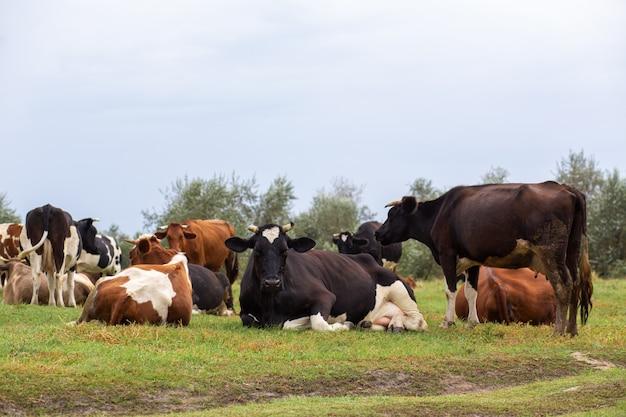 農村部の牛は緑の牧草地で放牧します。
