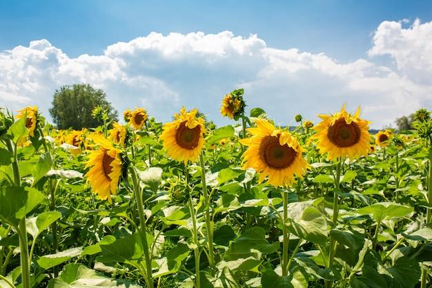明るく晴れた夏の日のフィールドのヒマワリ。ヒマワリの種。