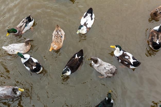 多くのアヒルが水の中を泳ぐ