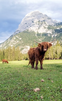 イタリアドロミテの牧草地で夕日を楽しんで美しい角のあるハイランド牛