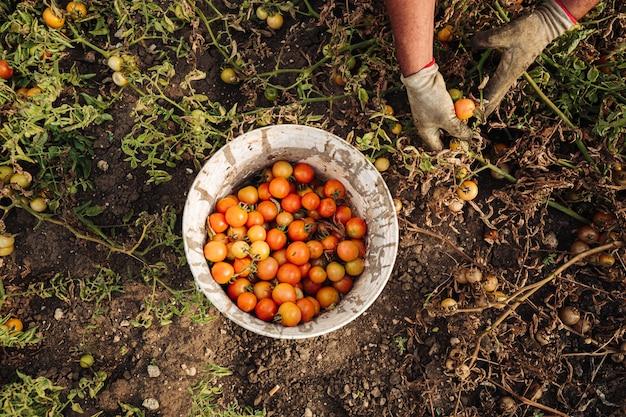 南イタリアのプーリア州のチェリートマトの栽培