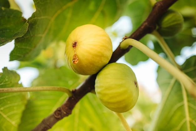 Сбор свежих сочных инжира с дерева